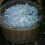 IMAGE: Basket full of flower petals